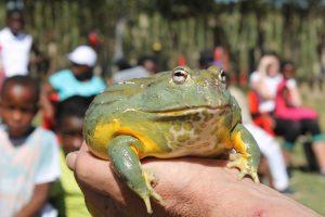 Giant African Bullfrog in Diepsloot