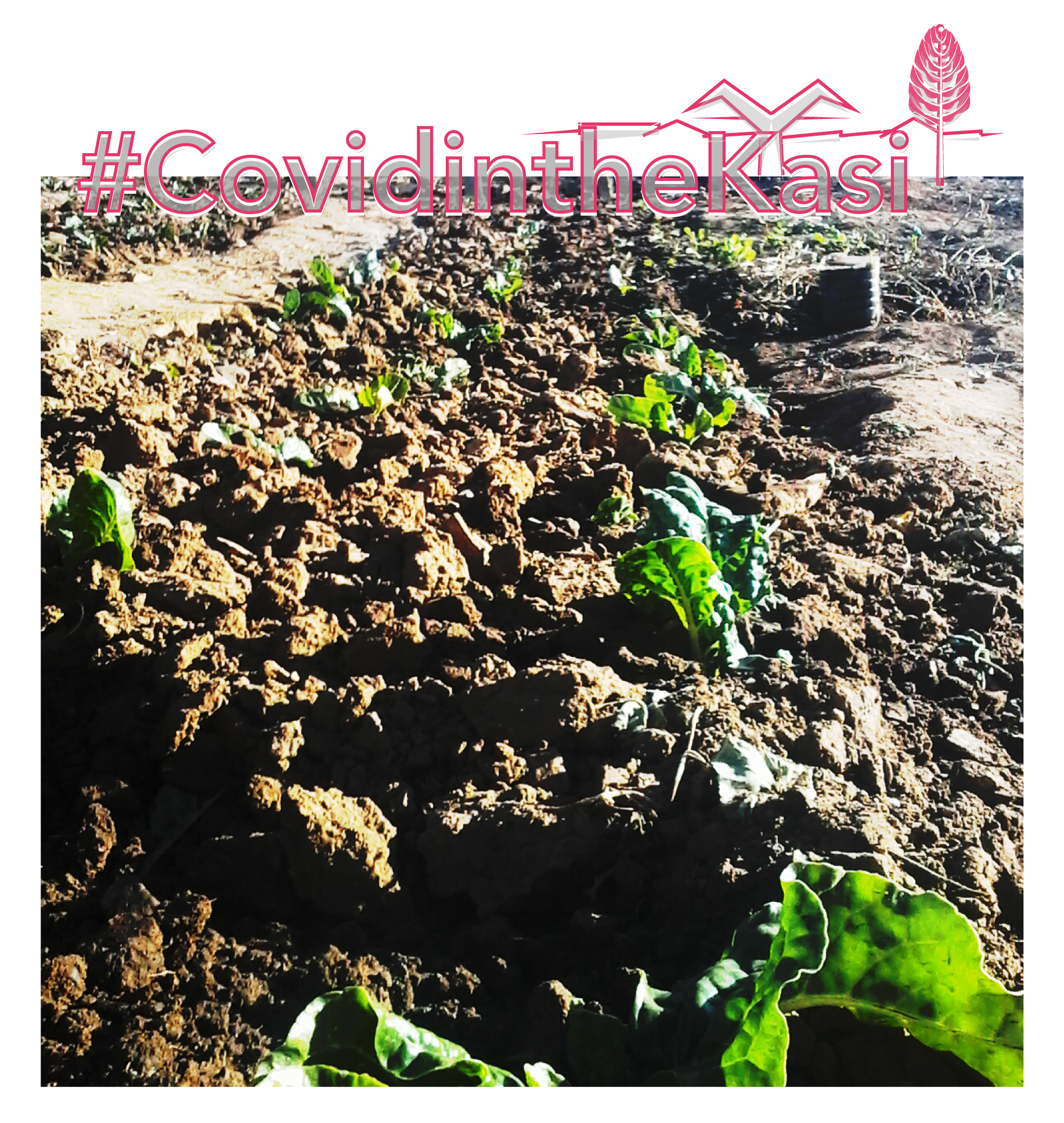spinach bed in Diepsloot